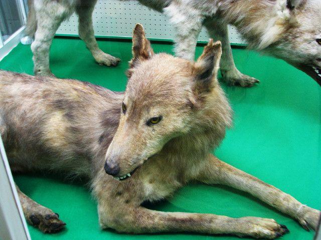 Волк Хоккайдо (Hokkaido Wolf)