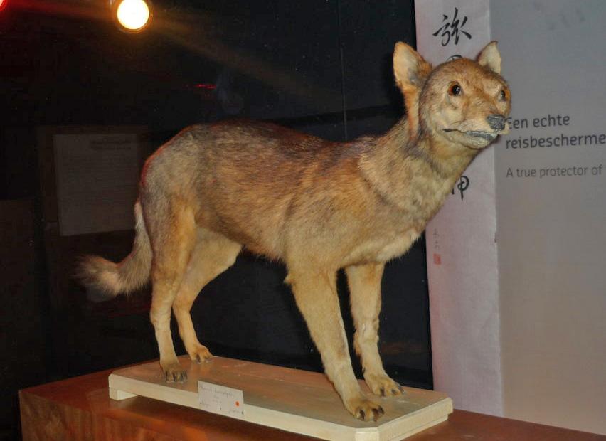 Да, это волк. Японский. Хонсюйский волк