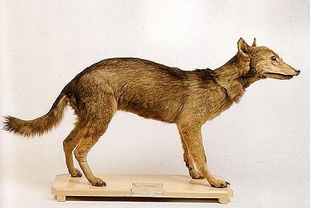 Японский волк (волк Хонсю)