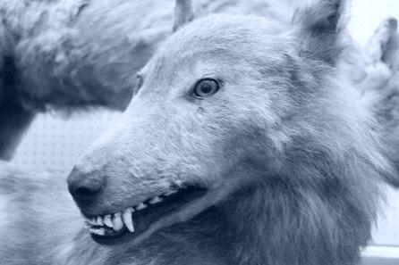 Сахалинский волк