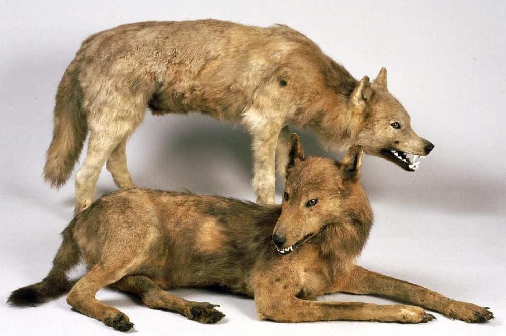Чучела Хоккайдских волков