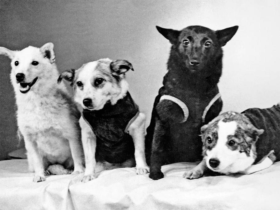 Все кандидаты в собаки-космонавты первого потока похожи, как ярко выраженным «дворянским» внешним видом, так и небольшими размерами